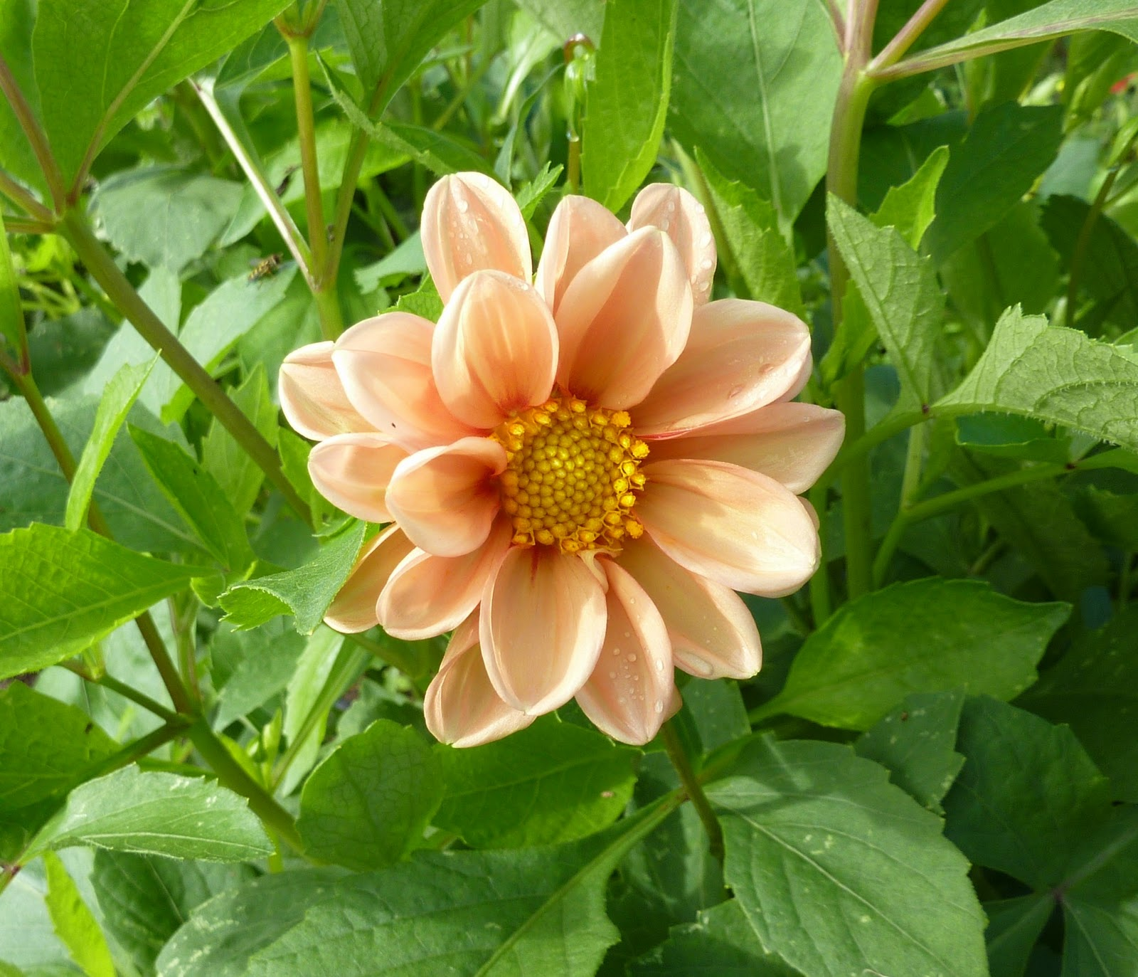 Drink Your Hibiscus And Eat Your Dahlias Maryland Grows