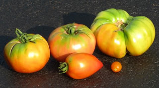 Don T Forget You Can Pick Tomatoes Ahead Of Full Ripeness Maryland Grows