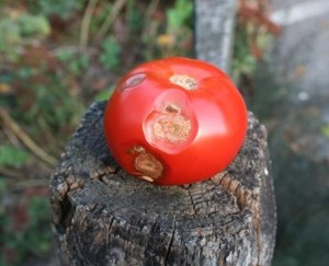 Anthracnose on tomato
