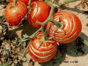 Concentric cracking of tomatoes