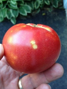 Minor stink bug injury on tomato