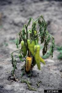 Southern blight on banana pepper