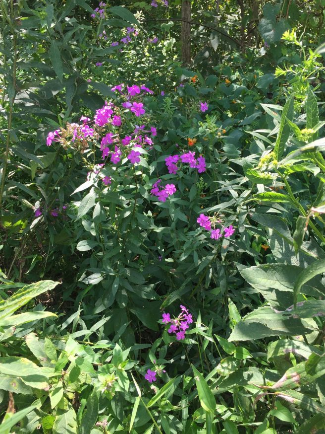 Fall Phlox and Spotted Touch-Me-Not in our reference meadow (Phlox paniculate and Impatiens capensis).