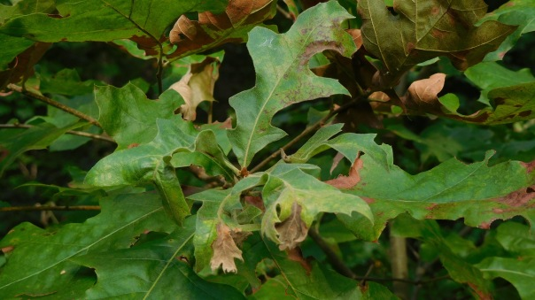 oak anthracnose
