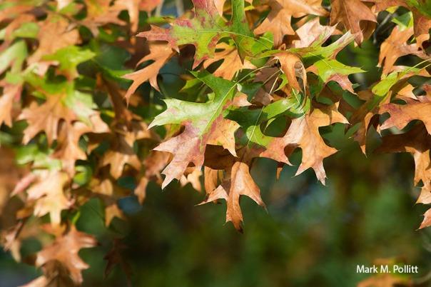 bacterial leaf scorch on oak