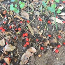 winged burning bush berries