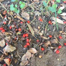 winged burning bush berries