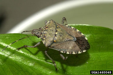 brown marmorated stinkbug adult