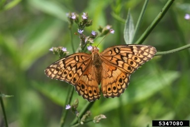 variegated fritillary adult butterfly