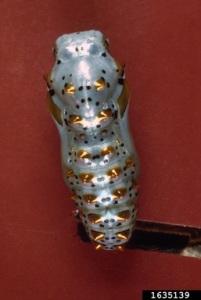 variegated fritillary pupa
