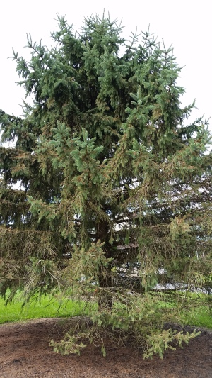 blue spruce with cytospora