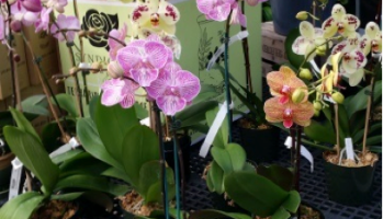 Q A What Causes Orchid Leaves To Turn Yellow And Shrivel
