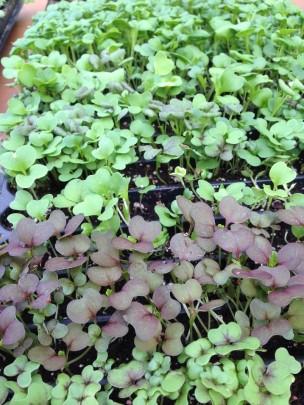 """Brassica"" microgreens"