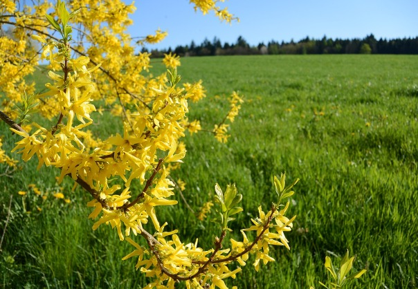 forsythia shrub in bloom