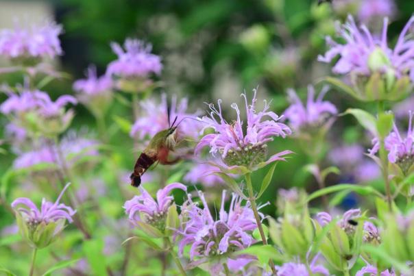 hummingbird sphinx moth on bee balm