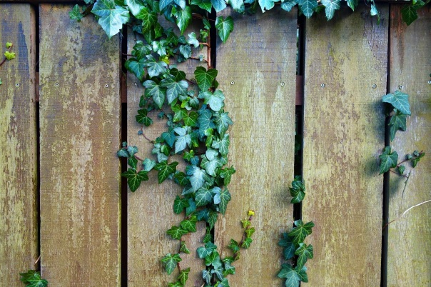 ivy coming through a fence