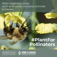 bumblebee on vegetable flower