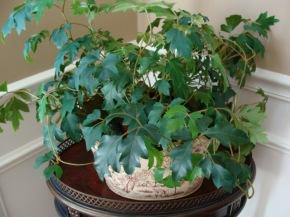 (Cissus rhombifolia) Oak or grape leaf ivy