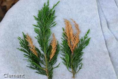 Leyland cypress with symptoms of Seiridium canker