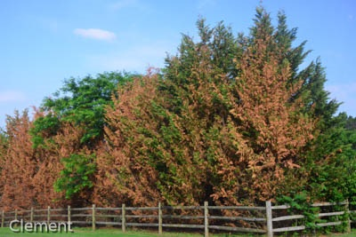 Leyland cypress showing winter damage