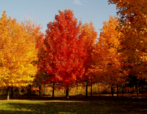 Native Sugar maple trees provide autumn color as well as Rosy Maple Moth habitats.