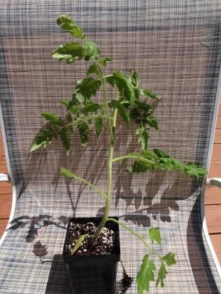 8 week plant