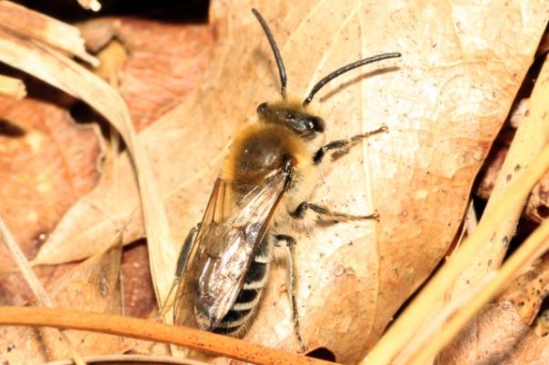 Colletes thoracicus