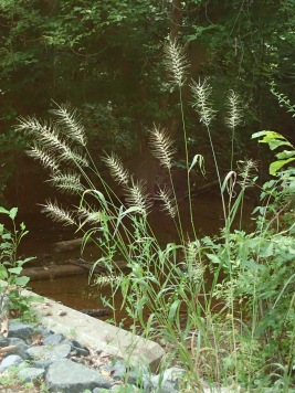 A wild Bottlebrush Grass plant in the Potomac River floodplain