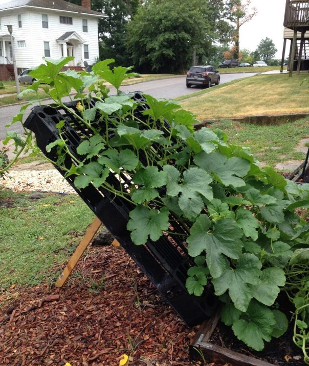 Clever use of a plastic pallet to support winter squash plants, saving garden space.