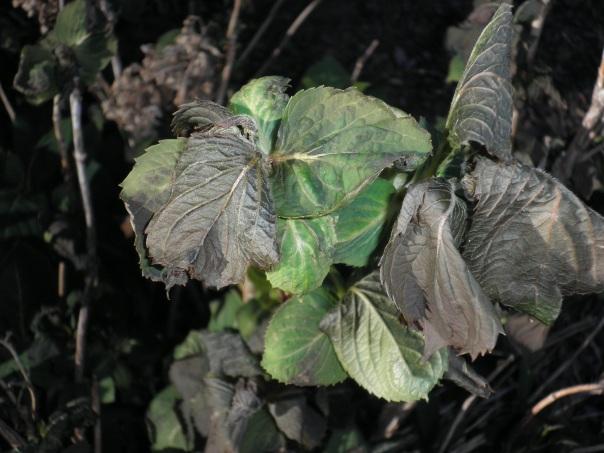 freeze damage on hydrangea