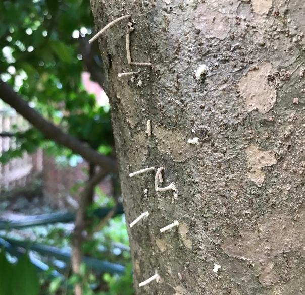 ambrosia beetle frass tubes