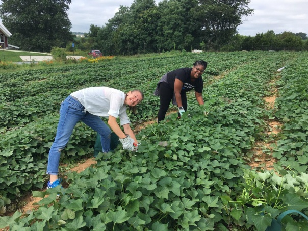 harvesting sweet potato greens