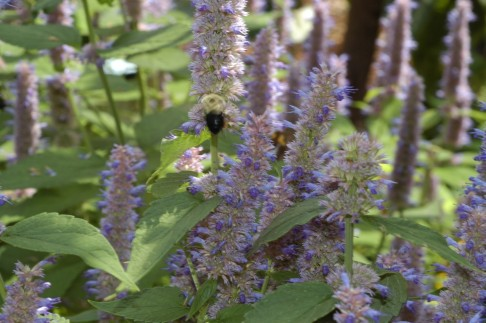 Bumble bee on anise hyssop flower. Spikes produce many flowers that are frequently visited by insects. Photo credit: Jon Traunfeld