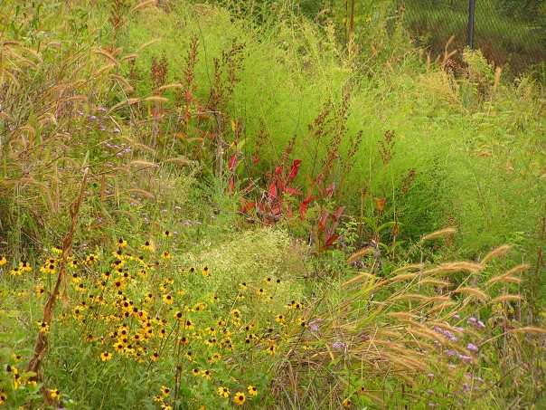 A planted native meadow at the University of Maryland Arboretum.