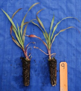 """Plugs are small potted plants. The plugs shown here are called """"deep plugs"""". If you can get them, they root better than the usual plugs, which are less than half as deep."""