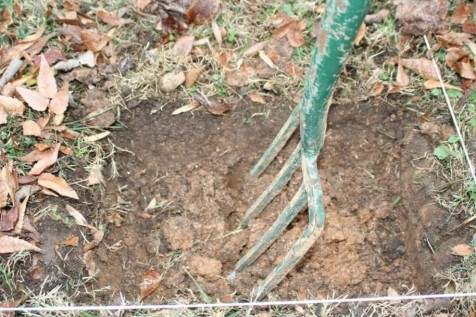 Prior to adding the compost, loosen soils with high clay content by pushing in your garden fork and rocking it back and forth. Move the fork 6-8 inches and repeat across the entire bed. Photo credit: Jon Traunfeld