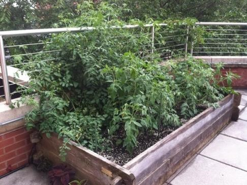 This bed sits on a concrete library balcony. It's about 16 inches deep and is growing a nice crop of tomatoes. Notice the perlite (white specs) in the soilless growing medium. Photo credit: UME Master Gardeners, Frederick Co.