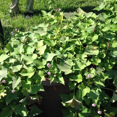 Sweet potato plants growing in containers Photo credit: Jon Traunfeld
