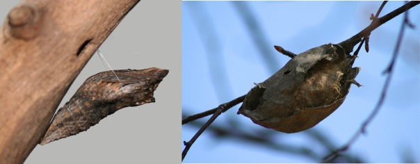 Black swallowtail butterfly chrysalis and polyphemus moth cocoon