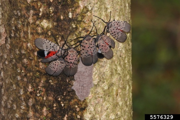 adult spotted lanternflies and an egg mass