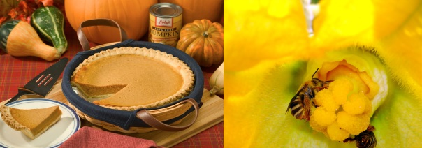 pumpkin pie and a bee that pollinates pumpkins