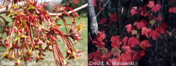 red maple tree and flowers