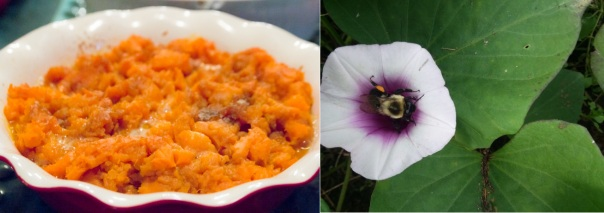 sweet potatoes and a bee that pollinates the flowers