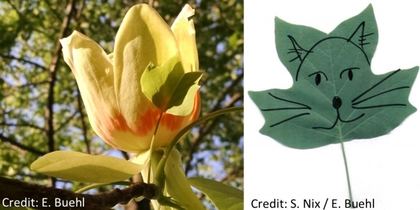 tulip poplar tree flower and leaf