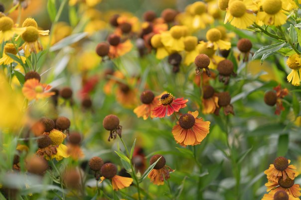helenium flowers in a garde