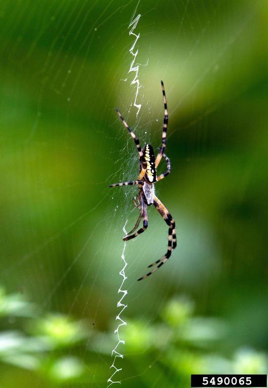 garden spider web