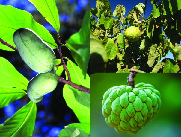 pawpaw and related fruits