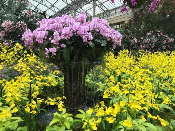 Fountain Phalaenopsis