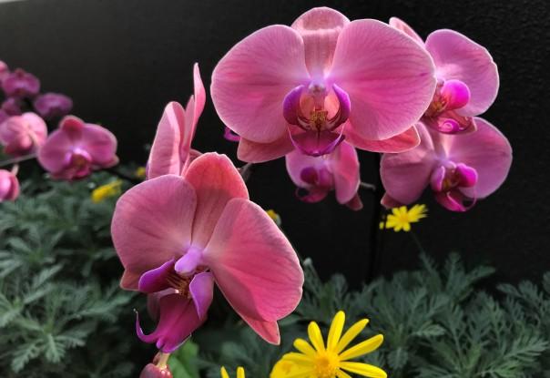Phalaenopsis_Rose
