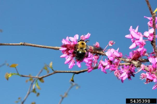 carpenter bee on redbud flowers